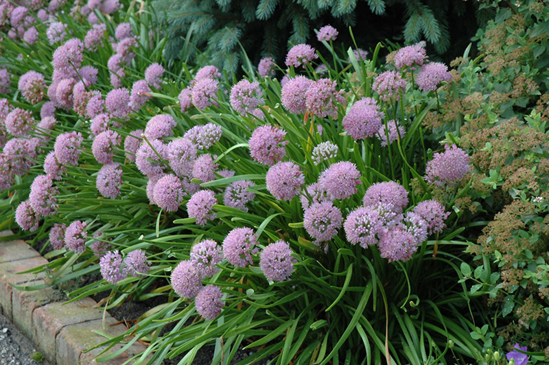 Perennial flowers archives ryco landscaping allium summer beauty or summer beauty onion mightylinksfo